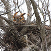 Great Horned Owl <br /> Anzalduas County Park <br /> Rio Grande Valley Texas