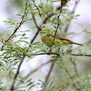 Orange-crowned Warbler <br /> Anzalduas County Park <br /> Rio Grande Valley Texas