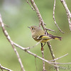 Ruby-crowned Kinglet <br /> Anzalduas County Park <br /> Rio Grande Valley Texas
