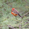 Vermilion Flycatcher <br /> Anzalduas County Park <br /> Rio Grande Valley Texas