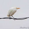 Cattle Egret <br /> Anzalduas County Park <br /> Rio Grande Valley Texas