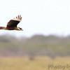 Crested Caracara <br /> Boca Chica <br /> Rio Grande Valley Texas