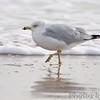 Ring-billed Gull <br /> Boca Chica <br /> Rio Grande Valley Texas