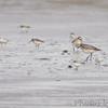 Black-bellied Plover • Sanderling • Dunlin<br /> Boca Chica <br /> Rio Grande Valley Texas