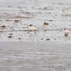 Sanderlings <br /> Boca Chica <br /> Rio Grande Valley Texas