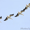 American White Pelican  <br /> Boca Chica <br /> Rio Grande Valley Texas