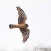 Northern Harrier <br /> Boca Chica <br /> Rio Grande Valley Texas