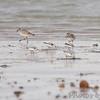 Black-bellied Plover  • Sanderling<br /> Boca Chica <br /> Rio Grande Valley Texas