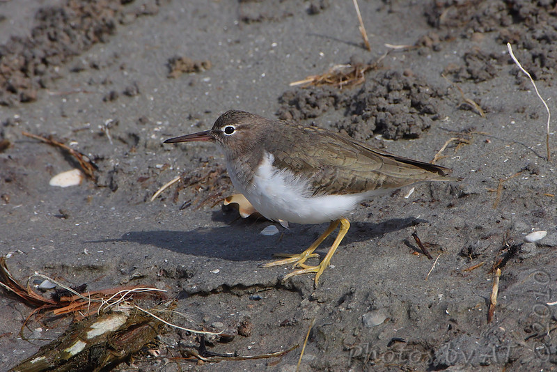 Spotted Sandpiper  <br /> Bird Center just south Convention Center <br /> In small pool center of driveway <br /> South Padre Island Texas