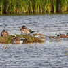 American Wigeon <br /> South Padre Island Convention Center <br /> Texas