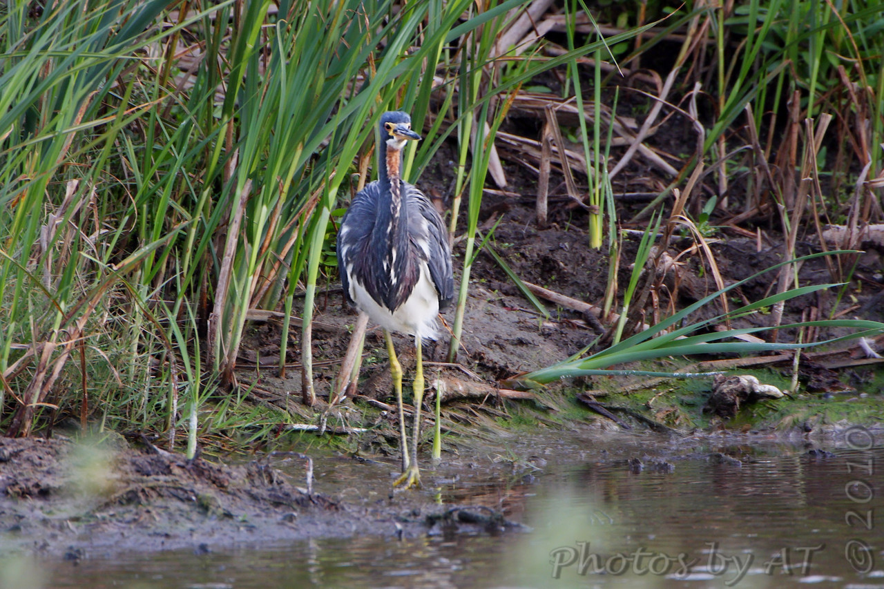 Tricolored Heron <br /> South Padre Island Convention Center <br /> Texas