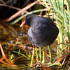 Common Gallinule <br /> (previous Common Moorhen)  <br /> South Padre Island Convention Center <br /> Texas