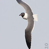 Laughing Gull <br /> South Padre Island Convention Center <br /> Texas
