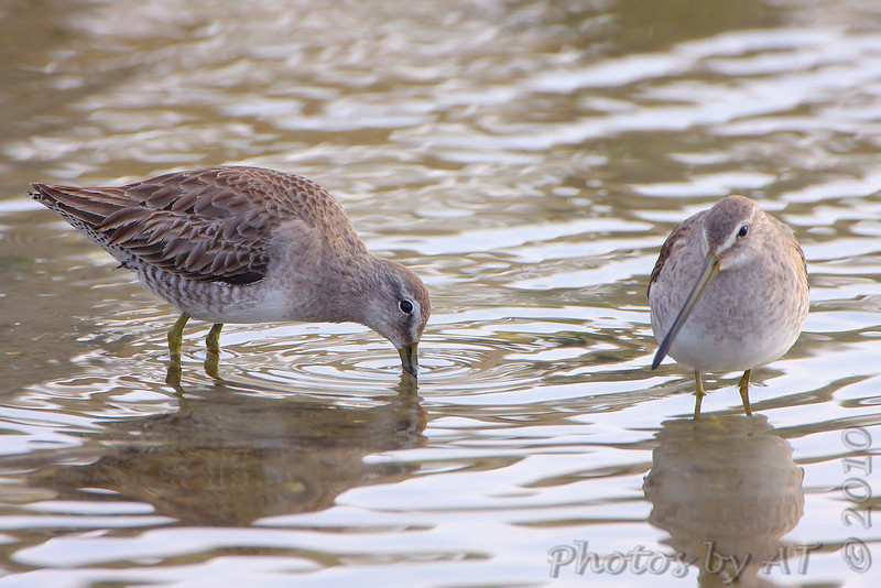 Short-billed Dowitcher  <br /> South Padre Island Convention Center <br /> Texas