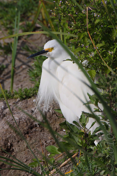 Snowy Egret   <br /> South Padre Island Convention Center <br /> Texas