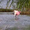 Roseate Spoonbill <br /> South Padre Island Convention Center <br /> Texas