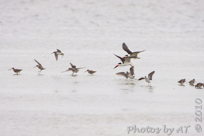 Black Skimmers  <br /> Lamar Beach Rd between 8th and 4th streets <br /> Just south of Aransas NWR <br /> Rockport, Texas