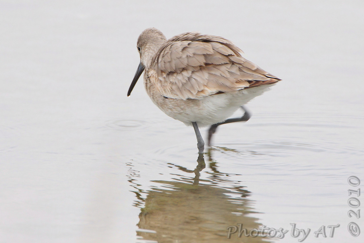 Willet <br /> Lamar Beach Rd between 8th and 4th streets <br /> Just south of Aransas NWR <br /> Rockport, Texas