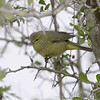 Orange-crowned Warbler <br /> Parking area about 12 miles south of Encino Texas