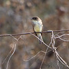 Eastern Phoebe <br /> Parking area about 12 miles south of Encino Texas