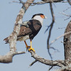 Crested Caracara <br /> Parking area about 12 miles south of Encino Texas
