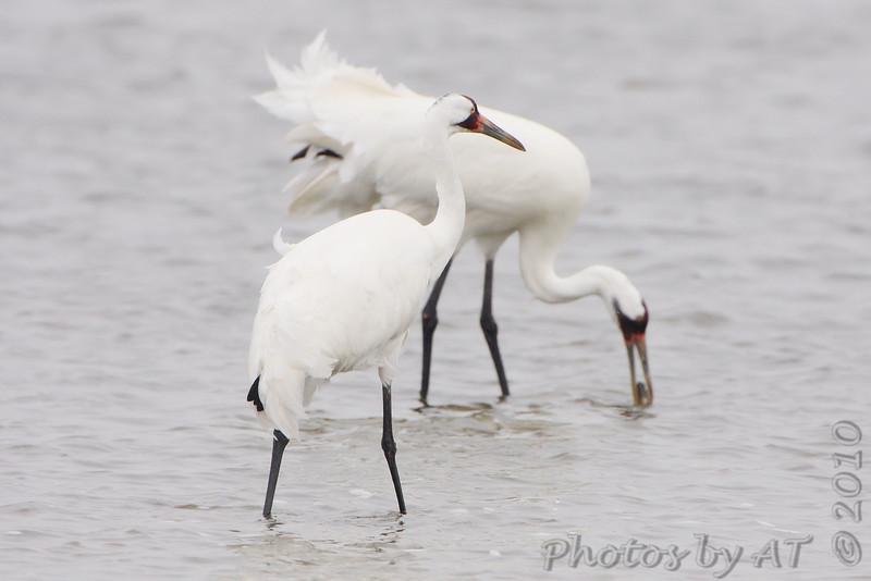 Whooping Cranes <br /> Lamar Beach Rd between 8th and 4th streets <br /> Just south of Aransas NWR <br /> Rockport, Texas