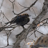 Rusty Blackbird <br /> City of Bridgeton <br /> St. Louis County, Missouri <br /> 2010-01-08