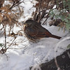 Fox Sparrow  <br /> City of Bridgeton <br /> St. Louis County, Missouri <br /> 2010-01-08
