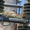Western Kingbird on nest <br /> Fee Fee Road just South of McDonnell Blvd. <br /> Hazelwood, Missouri