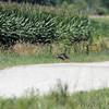 Eastern Wild Turkey <br /> Columbia Bottom Conservation Area