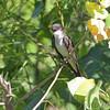 Eastern Kingbird <br /> Columbia Bottom Conservation Area