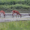 Whitetail Deer and Raccoon and GBH <br /> Moist Soil Unit 12 <br /> Clarence Cannon NWR