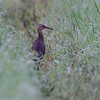 King Rail on levee <br /> Moist Soil Unit 12 <br /> Clarence Cannon NWR