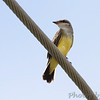 Western Kingbird fledgling <br /> Fee Fee Road just south of McDonnell Blvd<br /> Hazelwood Missouri