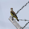 Western Kingbird <br /> Fee Fee Road just south of McDonnell Blvd<br /> Hazelwood Missouri