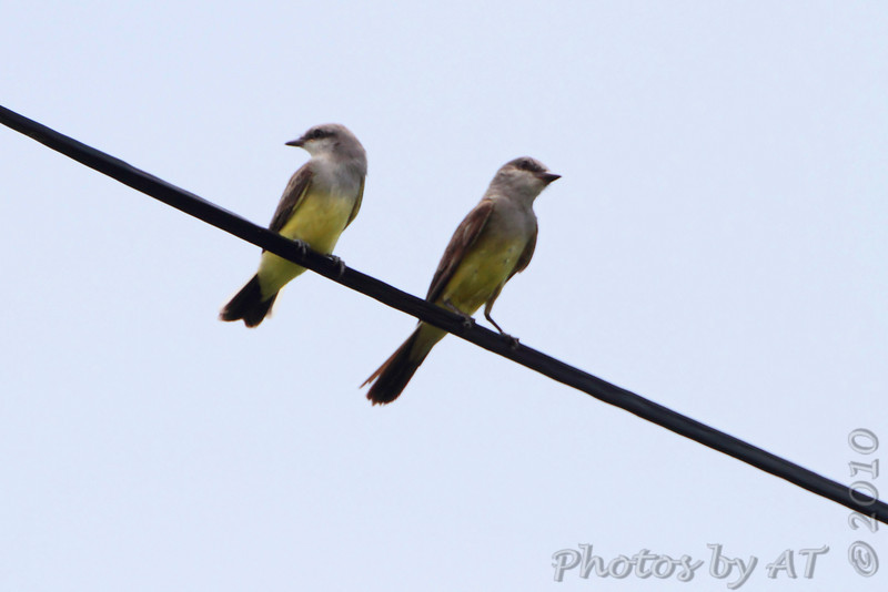 Western Kingbirds <br /> Fee Fee Road just south of McDonnell Blvd<br /> Hazelwood Missouri