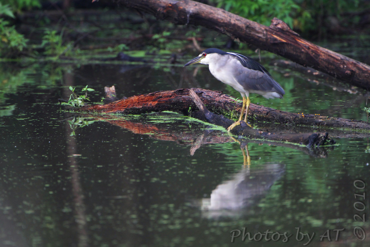 Black-crowned Night-Heron <br /> Columbia Bottom Conservation Area
