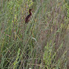Least Bittern <br /> Riverlands Migratory Bird Sanctuary