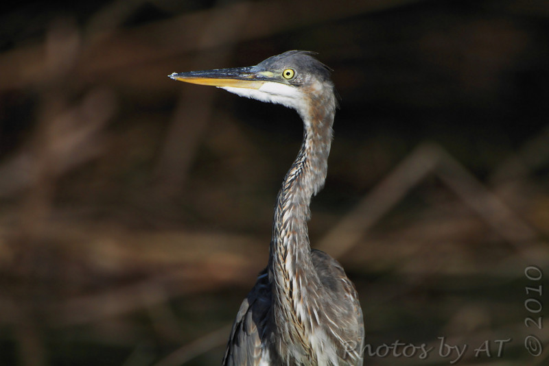 Great Blue Heron <br /> Columbia Bottom Conservation Area
