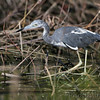 Little Blue Heron <br /> Columbia Bottom Conservation Area