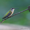 Ruby-throated Hummingbird <br /> City of Bridgeton <br /> St. Louis County, Missouri <br /> 2010-07-23