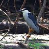 Black-crowned Night-Heron<br /> Columbia Bottom Conservation Area