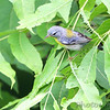Northern Parula <br /> Lost Valley Trail <br /> Weldon Spring Conservation Area
