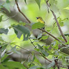 Yellow-throated Vireo <br /> Lost Valley Trail <br /> Weldon Spring Conservation Area