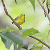 """Yellow-throated Vireo  <br> Lost Valley Trail  <br> Weldon Spring Conservation Area  <br><br> No. 285 on my Lifetime List of Birds <br>  Photographed in Missouri <a href=""""/Birds/Missouri-Bird-Photos-H-Z/3760688_ty5Tu#893313510_eeP9J"""">here</a>"""