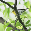 Yellow-throated Vireo <br /> Lost Valley Trail <br /> Weldon Spring Conservation Area <br /> 2010-06-07<br /> <br /> No. 286 on my Lifetime List of Bird Species <br /> Photographed in Missouri