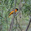 Baltimore Oriole <br /> Columbia Bottom Conservation Area