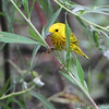 Yellow Warbler <br /> Columbia Bottom Conservation Area