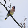Cedar Waxwing <br /> Maintz Wildlife Preserve