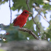 Summer Tanager <br /> Crowley Ridge Conservation Area